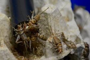 hants-crickets